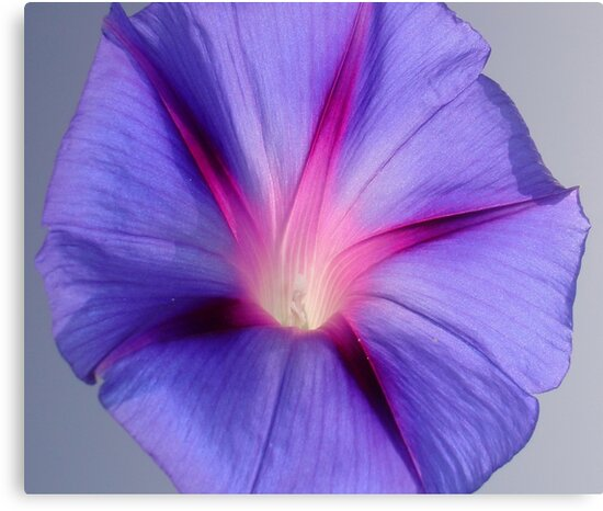 Close Up of A Morning Glory Purple and Pink Flower by taiche