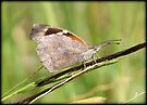 American Snout Butterfly by Kimberly Chadwick
