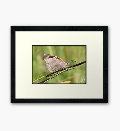 American Snout Butterfly Framed Print