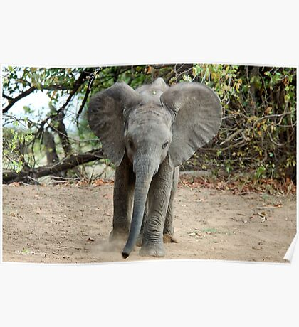 DON'T COME ANY CLOSER! -THE AFRICAN ELEPHANT – Loxodonta Africana Poster
