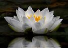 WaterLily Reflection, by AnnDixon