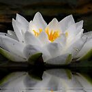 Lily in Reflection, by AnnDixon