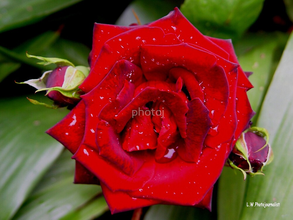 photoj Flora, cherry red rose by photoj