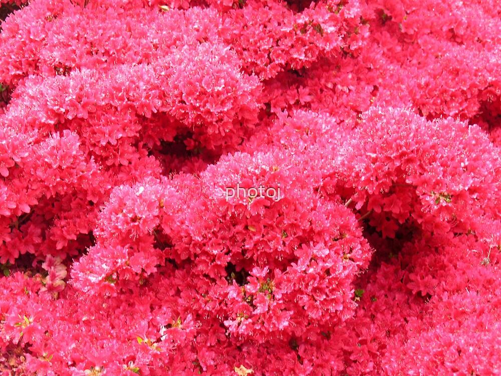 photoj Flora, ice pink by photoj
