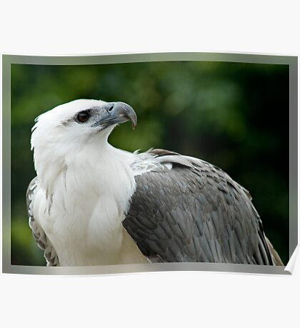 White Bellied Sea Eagle Poster
