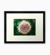 Melon Sea Urchin In Aquarium Framed Print