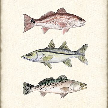 """Inshore Slam""  by Amber Marine ~ watercolor redfish, snook, and trout art, © 2013 by AmberMarine"