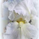 White On White Iris by kkphoto1