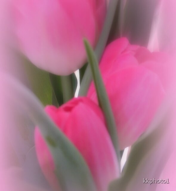 A Vision Of Pink Tulips by kkphoto1