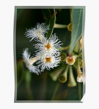 White Flowering Eucalypt Poster