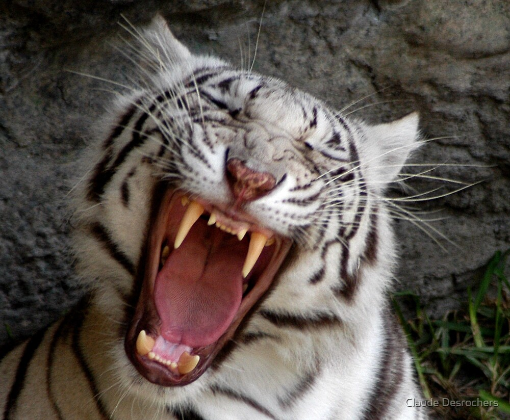 Quot White Tiger Yawning Quot By Claude Desrochers Redbubble