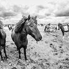 Kuc Islandzki by Dominika Aniola