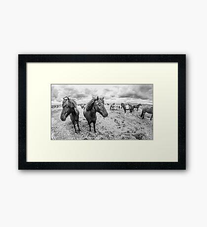Kuc Islandzki Framed Print