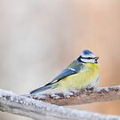 Eurasian Blue Tit by Dominika Aniola