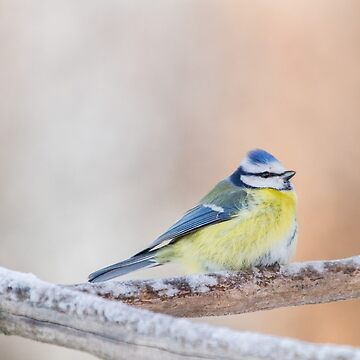 Eurasian Blue Tit by domcia