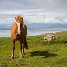 Icelandic Horse by Dominika Aniola