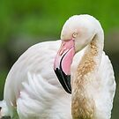 Pink Beak by Dominika Aniola