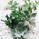 beauty of succulent by Jessica Sharmin