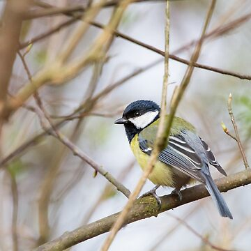 The Great Tit by domcia