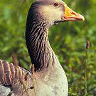 Greylag Goose by Dominika Aniola