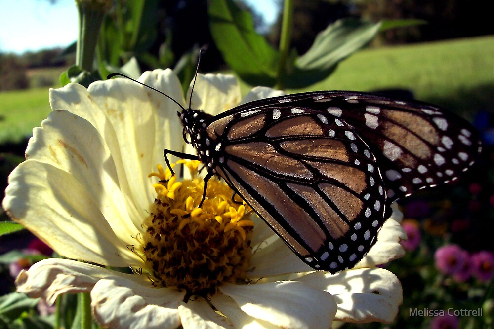 Monarch on Zenia by Melissa Cottrell