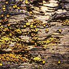 Golden mold by Manon Boily