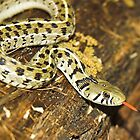 Checkered Garter Snake by Tamas Bakos
