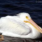 White Pelican by chardy