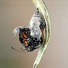Monarch - revealing the beauty to be......!! (5) by Roy  Massicks