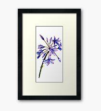 Agapanthus - Flowers Framed Print