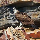 Osprey eating breakfast at Narrabeen Pool by Doug Cliff