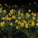 Bed of Daffodils - West Park, South Shields by MidnightMelody