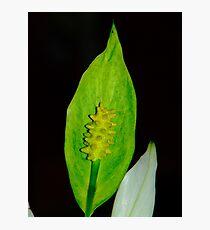 Macro Lilly Photographic Print