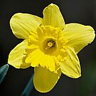 Just one Daffodil by cclaude