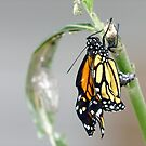 Monarch - all I need is room to spread my wings.....!!  (6) by Roy  Massicks