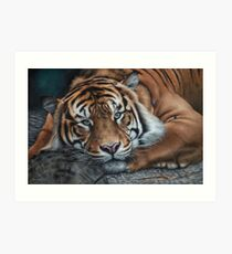 'Sumatran Tiger - Intensity' Art Print