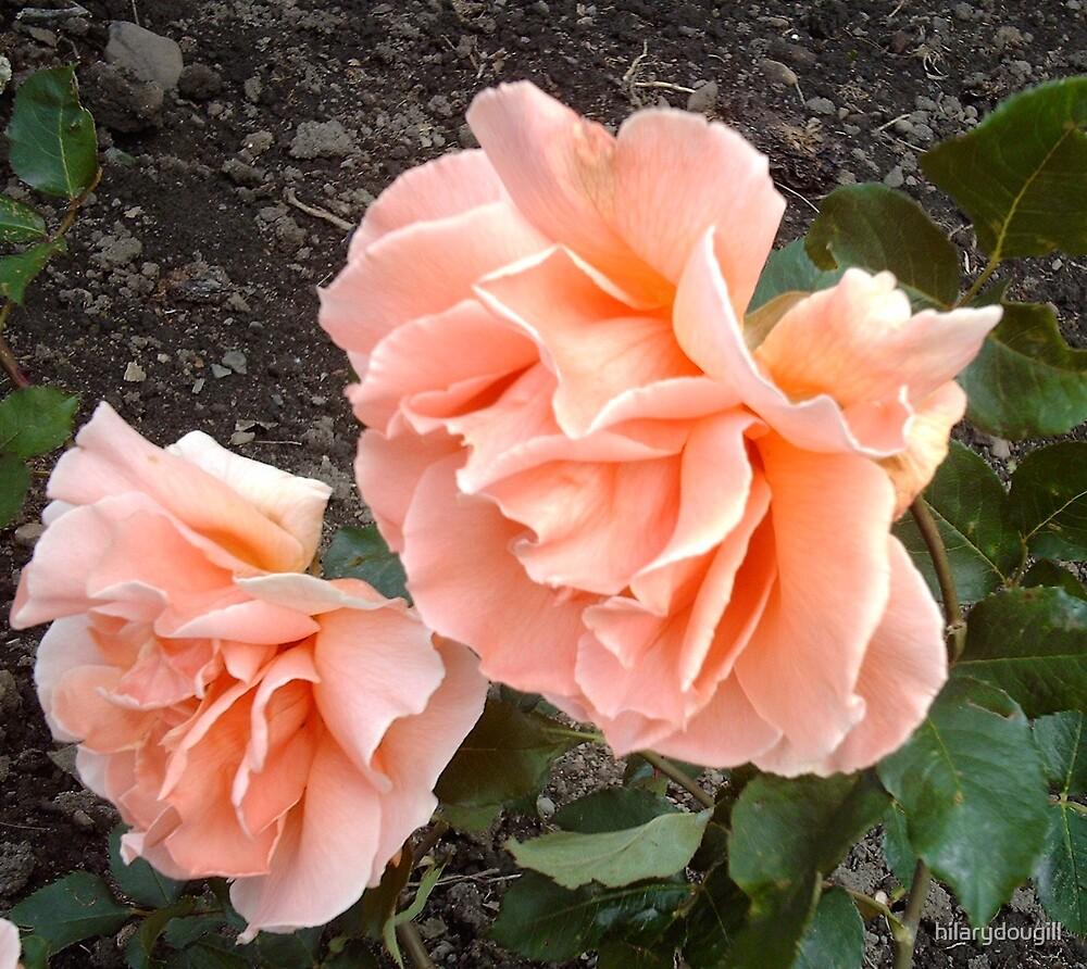 Salmon roses by hilarydougill