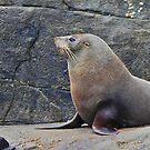 Australian Fur Seal by Graeme  Hyde