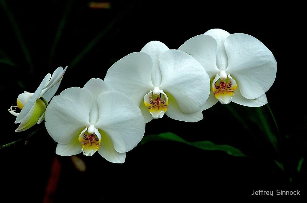 White Orchid by Jeffrey  Sinnock