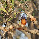 Azure Kingfisher by RochelleJean