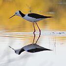 Black-winged Stilt by RochelleJean