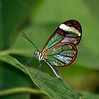 Glass wing butterfly by LisaRoberts