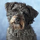 Bella the Schnoodle II by LisaRoberts