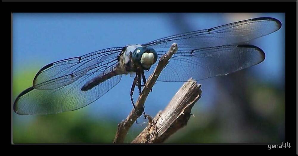dragonfly by gena44