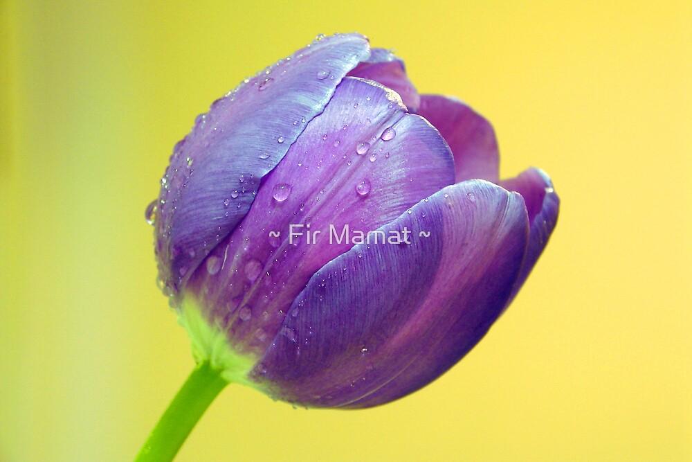 Purple Tulip by ~ Fir Mamat ~