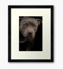 Blue Staffordshire Bull Terrier Framed Print