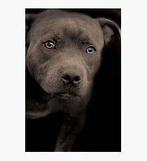 Blue Staffordshire Bull Terrier Photographic Print