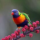 Rainbow Lorikeet by jozi1