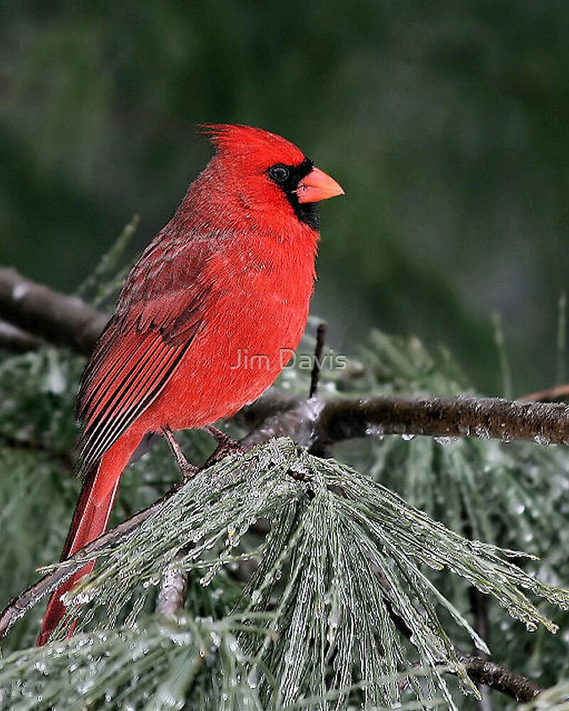 Male Cardinal  by Jim Davis