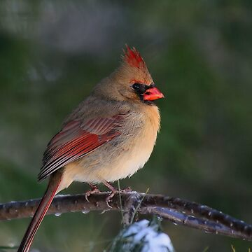 Female Cardinal by JimmyD